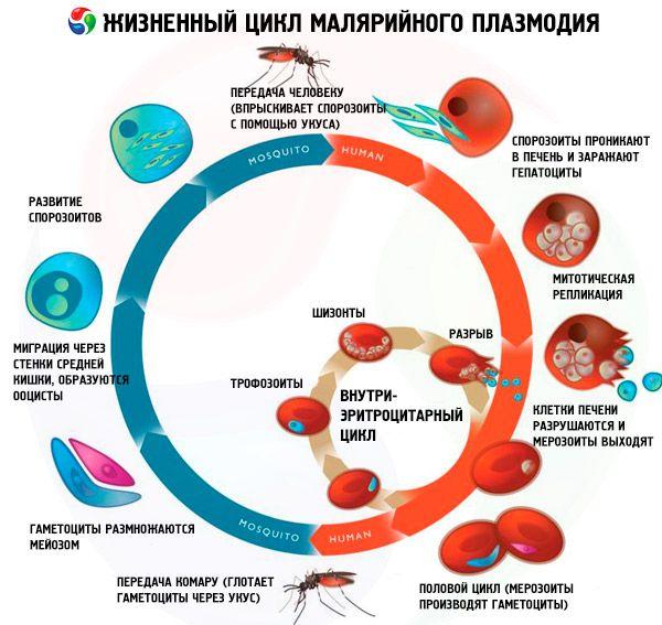 Plasmodium malária ciklus)