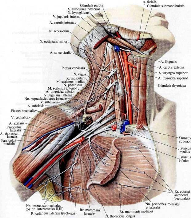 Brachial plexus | Kompetentno o zdravlju na iLive